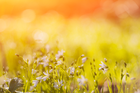 many white meadow wild flower on natural sunset background in field. Vintage outdoor autumn soft fresh photo. Stock Photo