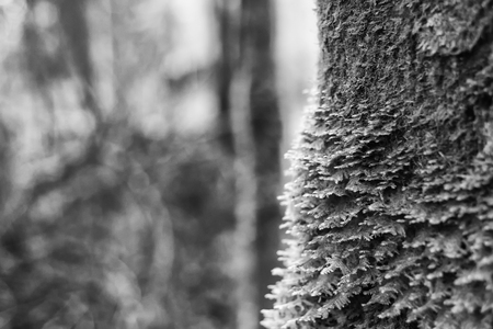 Black and white trees with moss in forest. Archivio Fotografico