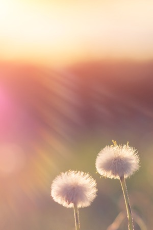 Dandelions at sunset with the rays of the sun