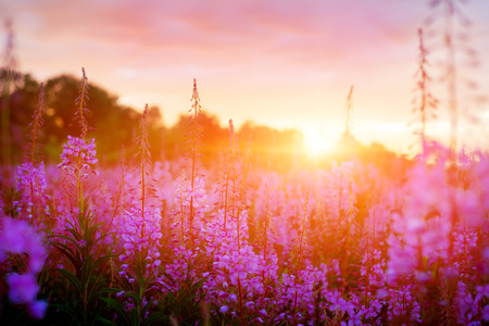 Pink Ivan-tea Or Epilobium Herbal Tea On Sunset Field, Close-Up. Flowers Of Rosebay Willowherb In The Sunset