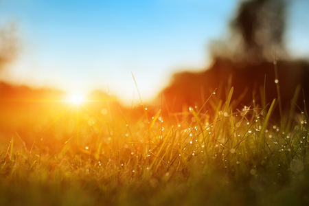 Grass. Fresh Green Spring Grass With Dew Drops Closeup. Sun. Soft Focus. Abstract Nature Background. Rice Plant At Sunset Banco de Imagens