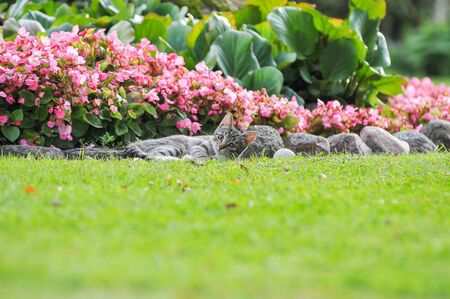 Little British kitten is walking on the green grass.