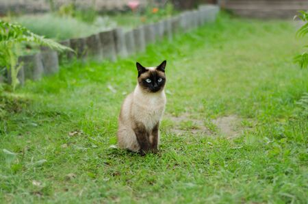 The beautiful brown cat, Siamese, with blue-green eyes sits in a green grass and yellow leaves