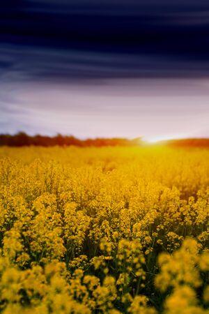 colorful landscape of blossom rapeseed on sundown 版權商用圖片