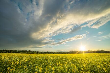 Yellow meadow under sunset sky with clouds. Rapeseed field at sunset. Sunrise in a rural area over the yellow flowers field. Sunlight.