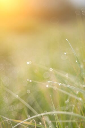 Juicy lush green grass on meadow with drops of water dew in morning light in spring summer outdoors close-up macro. Fresh green grass. Light morning dew. 版權商用圖片