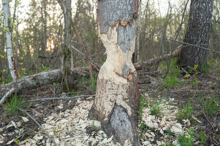 Tree with marks of beaver teeth. Damage to trees beavers. Negative activity of beavers in the woods. 版權商用圖片