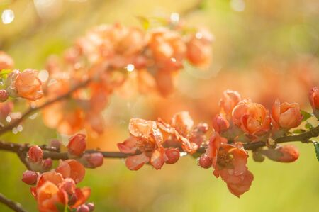 Orange branch of Japanese blooming quince close-up. Floral background. Orange japanese quince flowers. Chaenomeles japonica. Flowering on blurred green background. Copy space for text.