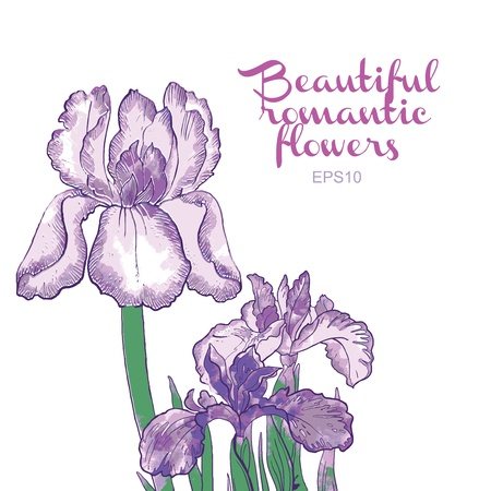 purple iris: beautiful romantic flowers Illustration