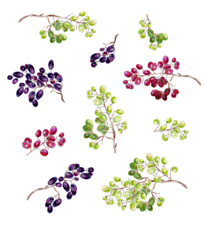 red grape: Bunches of grapes on a white background. Watercolor grapes. Stock Photo