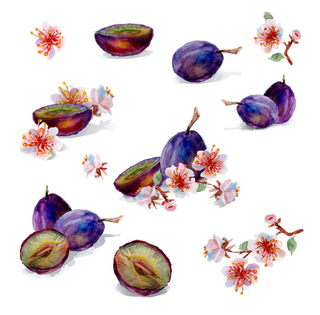 plums: Watercolor painting. Plums and flowers isolated on a white background. Stock Photo