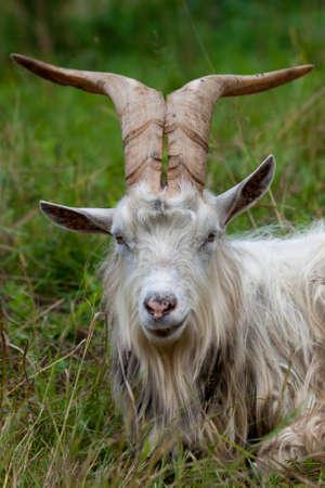 Retrato de cabra cabra con cuernos grandes en el campo Foto de archivo
