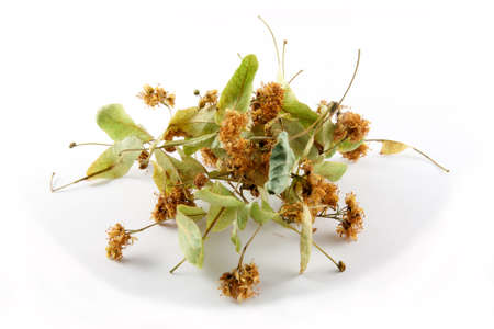 tilia cordata: linden flowers (Tilia cordata)  traditional herbal remedy linden flower tea