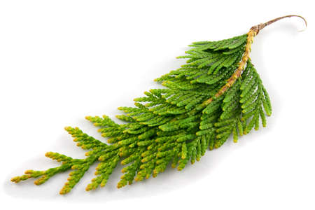 Close-up photo of thuja twig on a white background