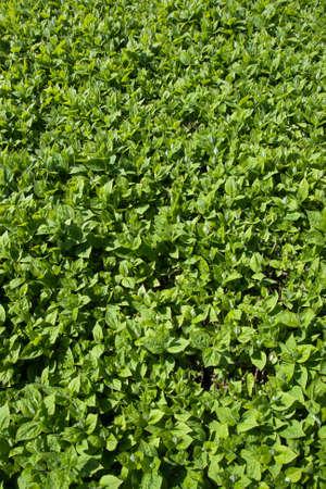 philadelphus coronarius: Background from live jasmine (Philadelphus coronarius) leaves