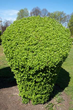philadelphus coronarius: Jasmine (Philadelphus coronarius) greenery in a city park