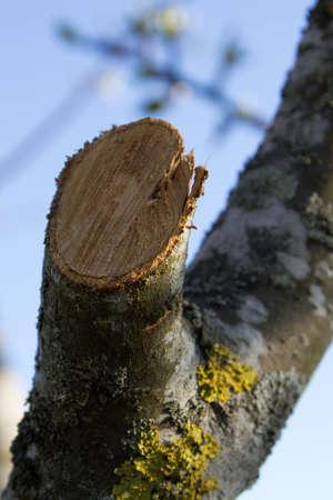 sawn: freshly sawn apple twig in spring