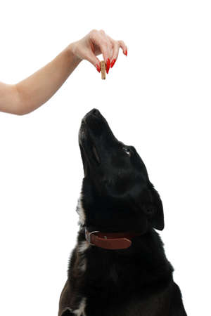 Dog looking up at a food treat, on a white background Stock Photo