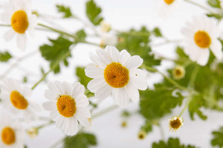 Close-up shot of wild chamomiles over white background photo