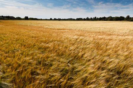 golden cornfield on a sunny summer day Stock Photo - 14650045