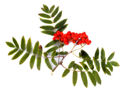 rowan branch with red berries on a white background photo