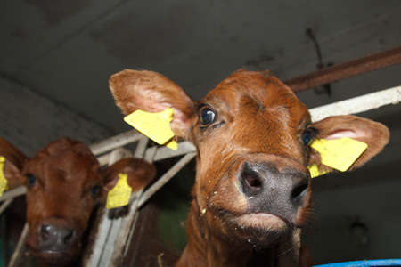 new-born calf nose wet from milk photo