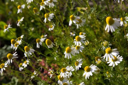 chamomilla: many wild herbal camomile ( scented Mayweed, Chamomilla recutita)