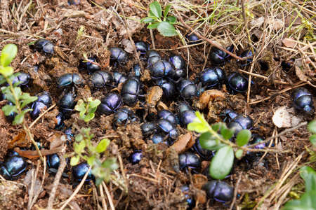 scarabaeidae: dung beetles in the forest