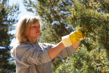 woman collecting pine cones for a healthy cooked syrup photo