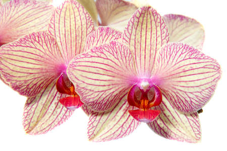 orchidaceae: Flower Orchidaceae Phalaenopsis on a white background
