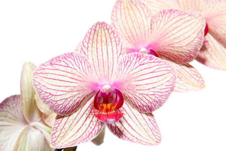 orchidaceae: Flover Orchidaceae Phalaenopsis on a white background