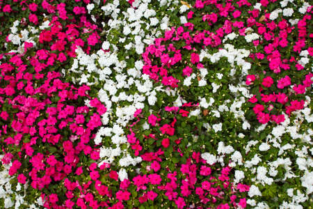 magenta flowers: A huge amount of whte and magenta flowers Stock Photo