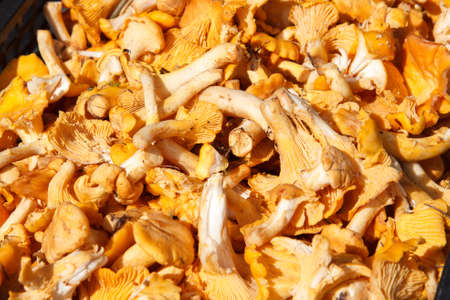 cantharellus: A bunch of cantharellus cibarius in a basket