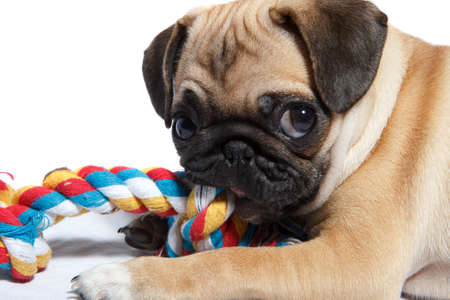 A pug playing with a toy on white background