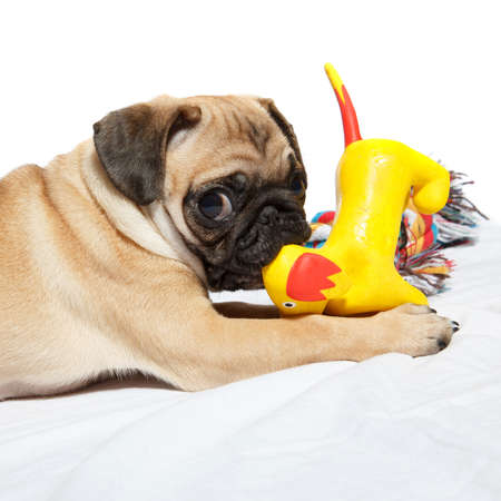 A pug biting a toy on white background