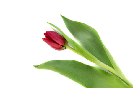 one red tulip on a white background