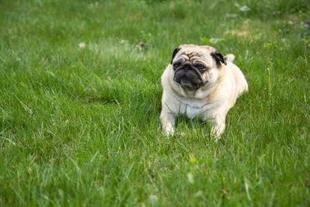 Perro Pug tumbado en la hierba en el parque