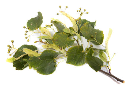 Linden branch with flowers on white background