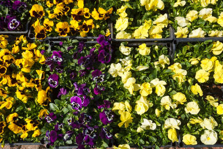 Selling seedlings of Pansy Viola flowers of various colors in boxes on the market
