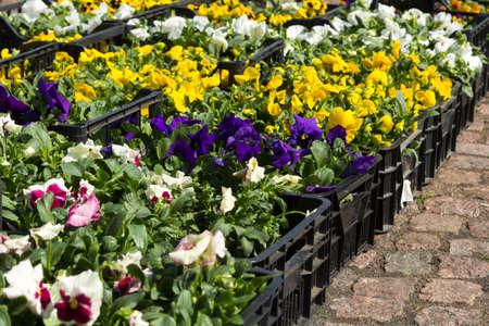Venta de plántulas de flores de Pansy Viola de varios colores en cajas en el mercado