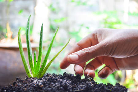Asian hand cultivate aloe vera in good soil on blur background.