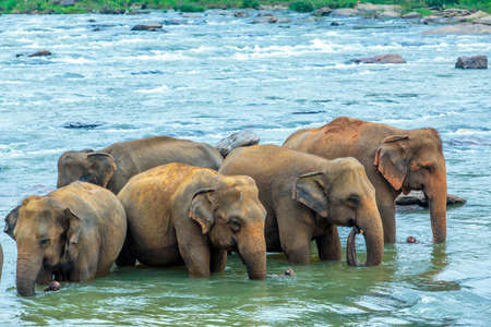 Indian elephants, relaxing in the river, Sri Lanka 스톡 콘텐츠