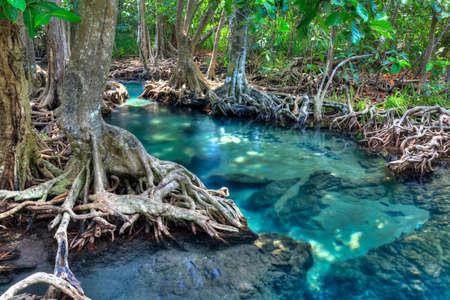 tha: Mangrove trees forest and clear river near Krabi, Thailand