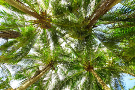 Coconut palm trees  bottom view, koh Samui