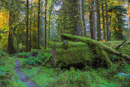 temperate: Trees covered with moss in Hoh Rainforest, Olympic National Park, Washington Stock Photo