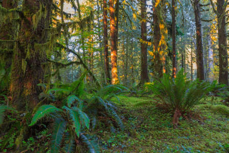 mosses: Trees covered with moss in Hoh Rainforest, Olympic National Park, Washington Stock Photo