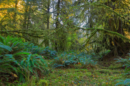 national scenic trail: Trees covered with moss in Hoh Rainforest, Olympic National Park, Washington Stock Photo