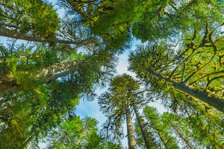 sol duc: Trees top view in Sol Duc rainforest at Olympic National Park, Oregon Coast Stock Photo