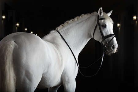 Cheval blanc sur fond noir