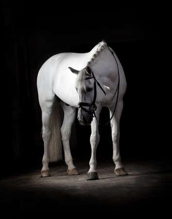 Cheval blanc sur fond noir Banque d'images - 53594025
